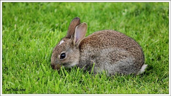 Wild Rabbit by Carl86