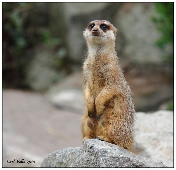 Meerkat by Carl86