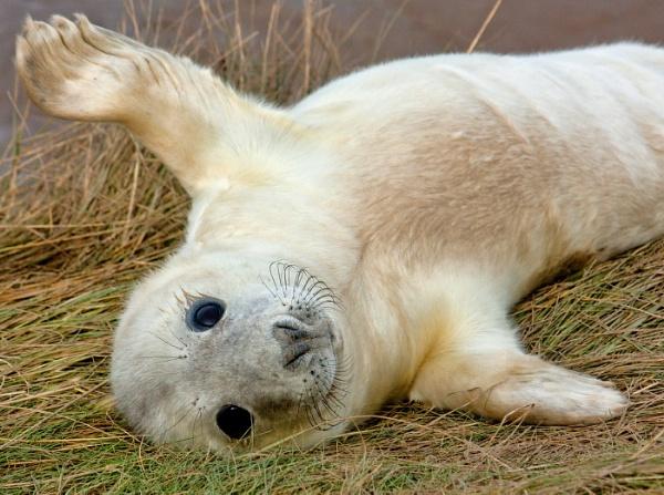 Grey Seal pup by oddlegs