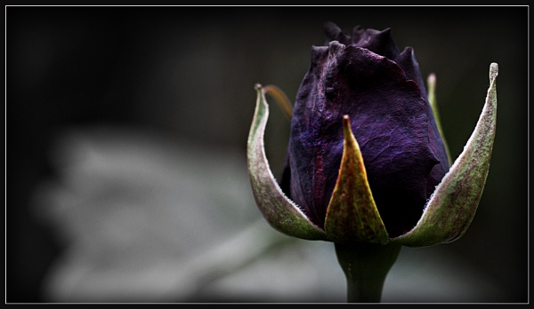 Purple Rose 3 by Morpyre