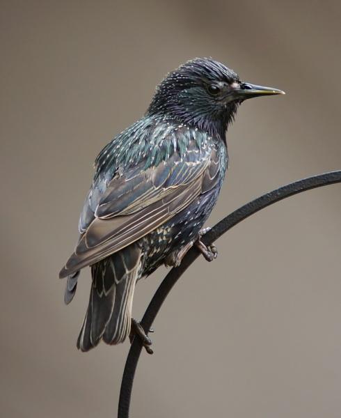 Starling by clintnewsham
