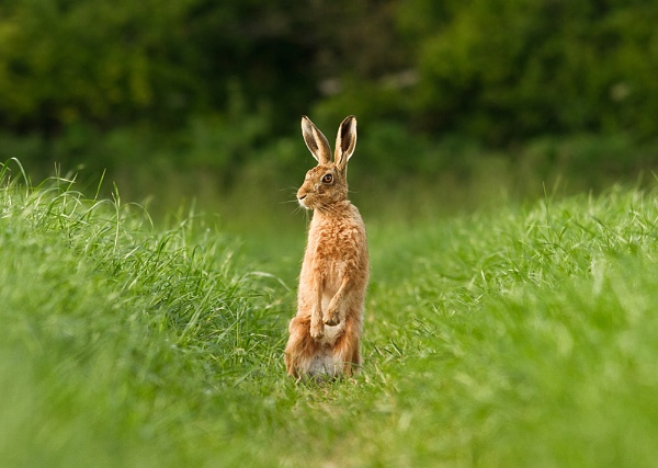 Brown Hare by JohnoP