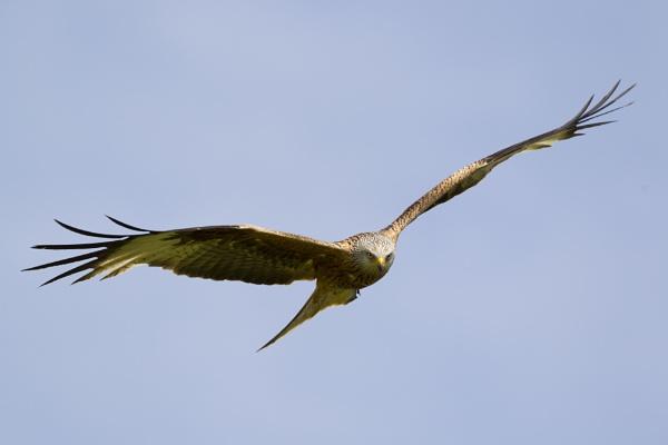 Red Kite by sjk123