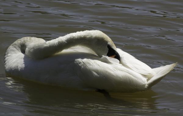 preening swan by pluckyfilly