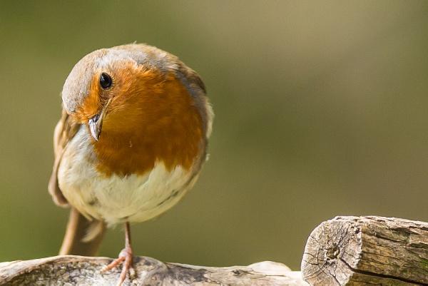 One legged cock-robin by michaelo