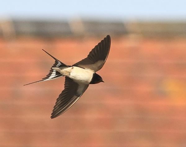 Swallow in Flight. by ringyneck