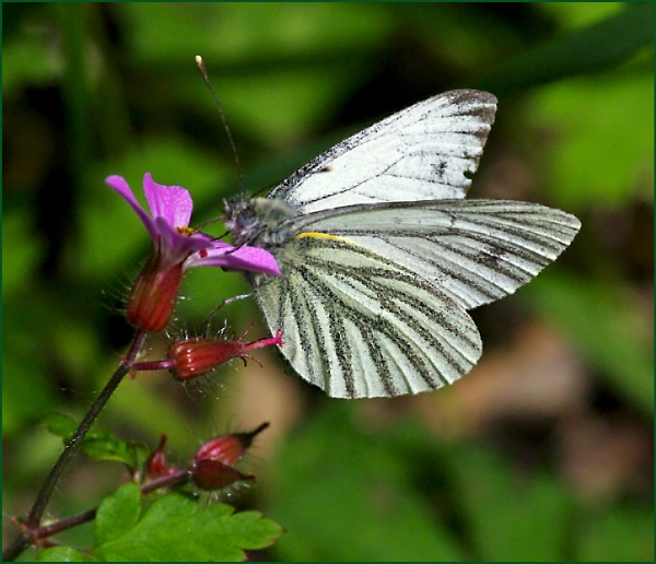 Green-veined White- pieris napi. by Badgerfred