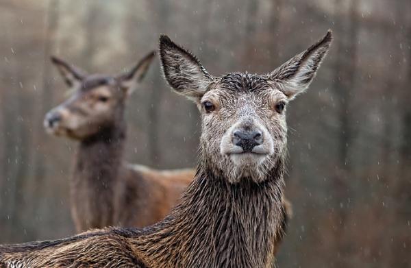 Red Deer in Glen Etive by teepee