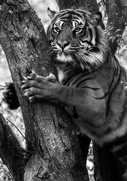 Sumatran Tiger by pcwillows