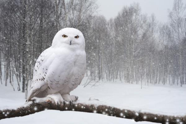 Snowy Owl by SteveMoulding