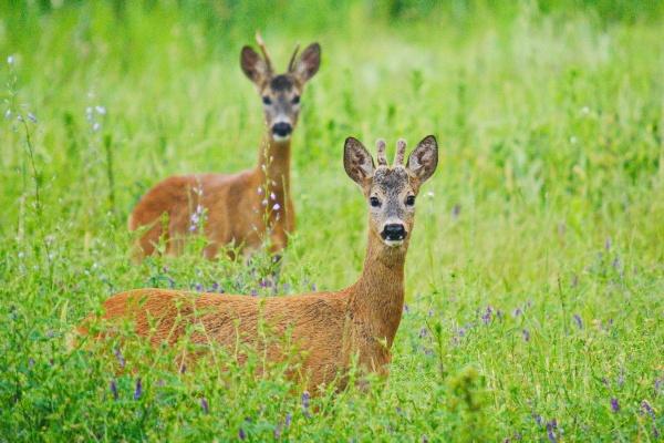 Roe Deer\'s by zmecanin