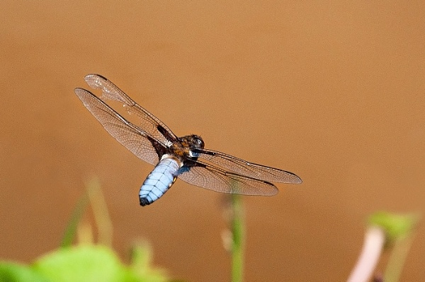 Broad Bodied Chaser in Flight by johncob