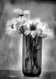 Mono Chrysanthemums