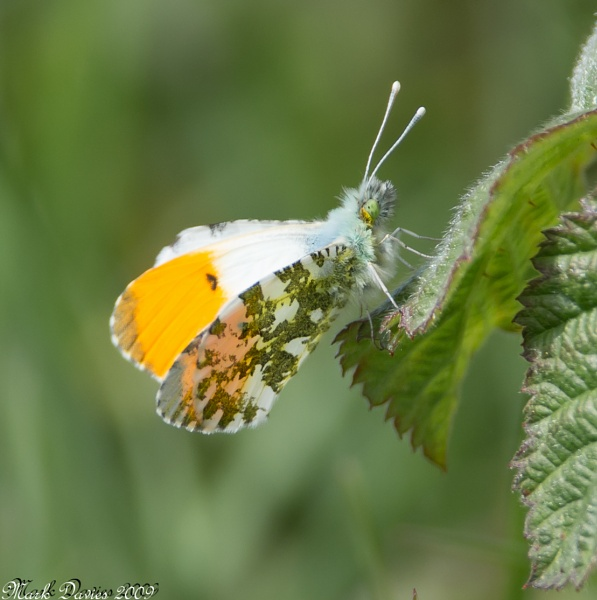 Orange Tip... by MD2009
