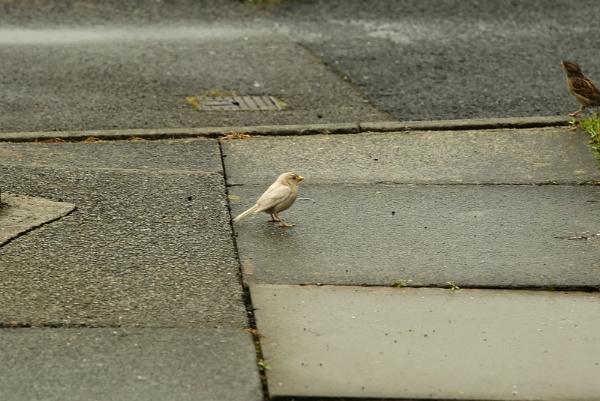 Abino Sparrow! by Shucky