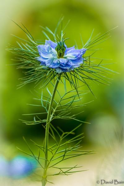 Blue cornflower by DavyB