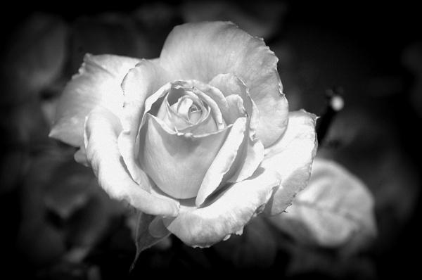 Garden Rose by Hmccdc