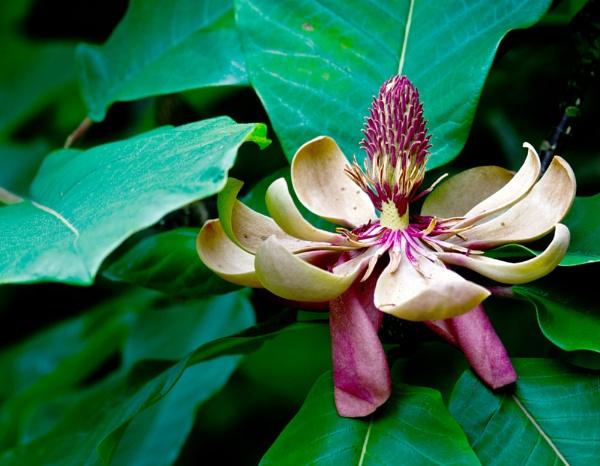 Magnolia by dhandjh