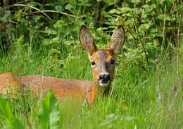 Roe Deer (wild)