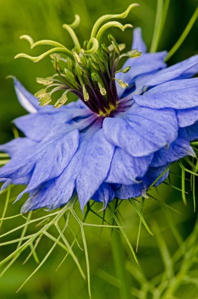Nigella damascena by flowerpower59
