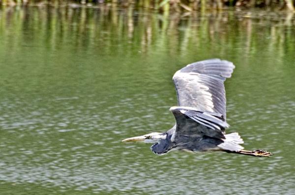 Heron by trevaze