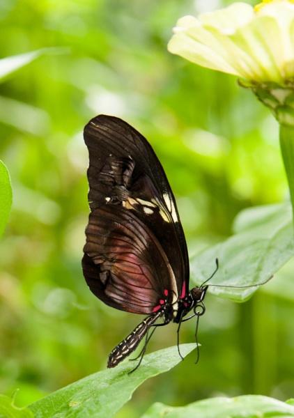 "Laparus doris viridis \""Doris Longwing\"" by nikonphotographer"