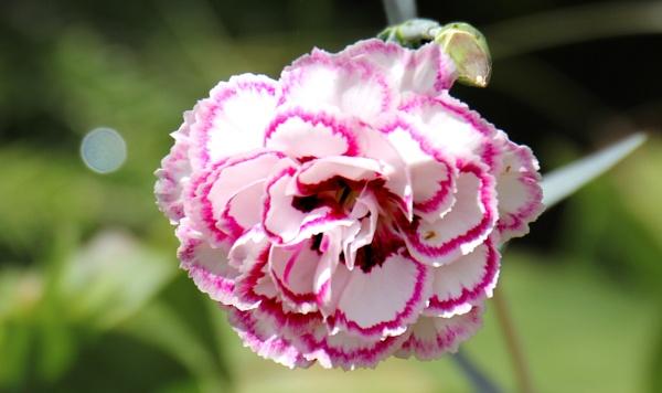 Dianthus - Pink by NickLucas