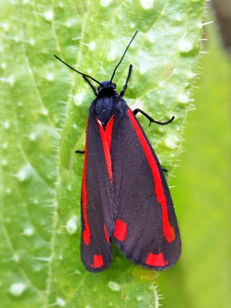 Cinnabar moth. by bobpaige1