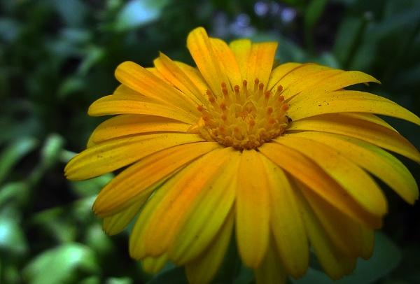 Calendula by hamidmn
