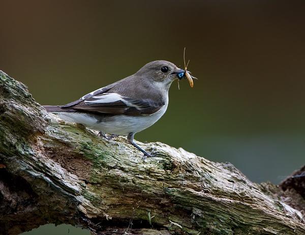 Female Pied Flycatcher by DerekL