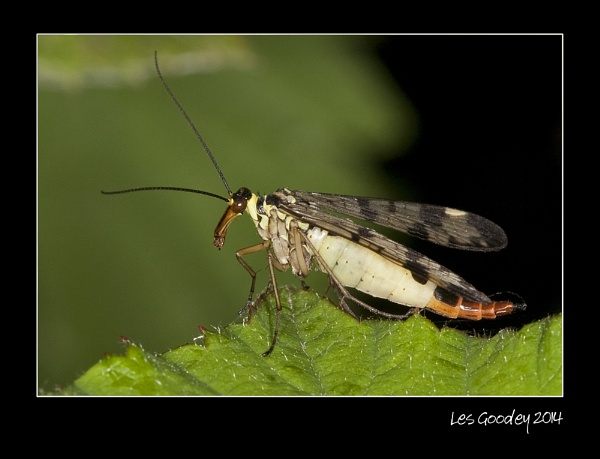 Scorpion Fly by lesgoodey
