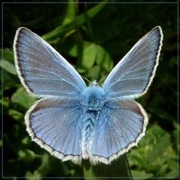basking blue