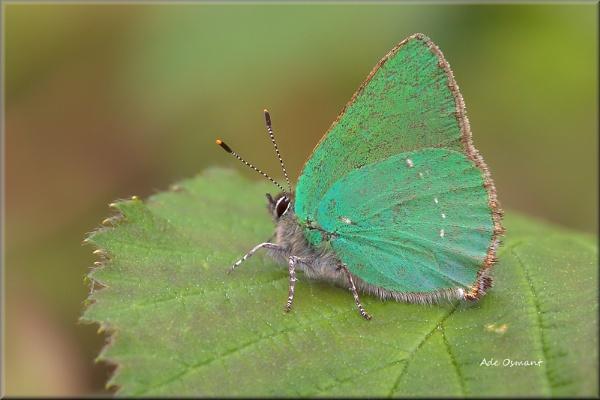 Green Hairstreak by Ade_Osman