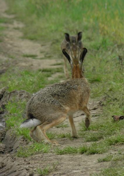 Beady eyed Hare by longhoss
