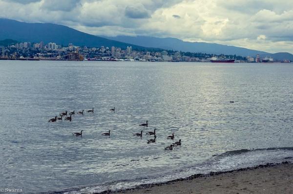 Ducks - Stanley Park, Vancouver BC II by Swarnadip