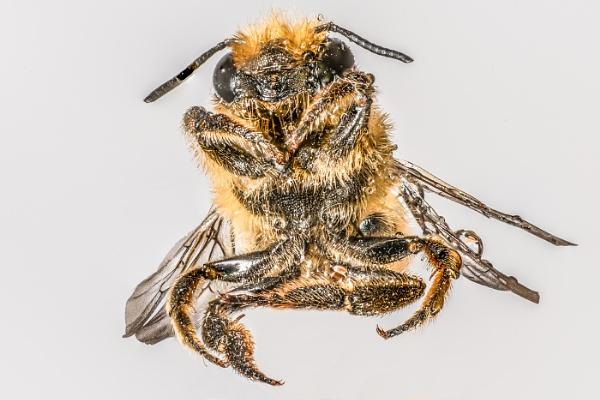 Macro Bee by jumbozine