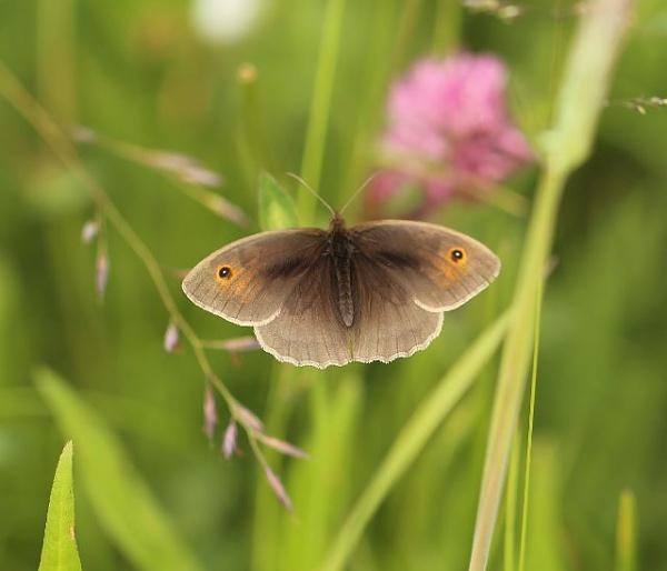 Meadow Brown by Peter_West