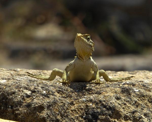 Sunbathing Lizard by DickT