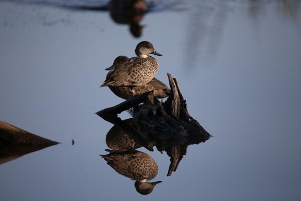 Ducks at Travis Wetlands by photopix12
