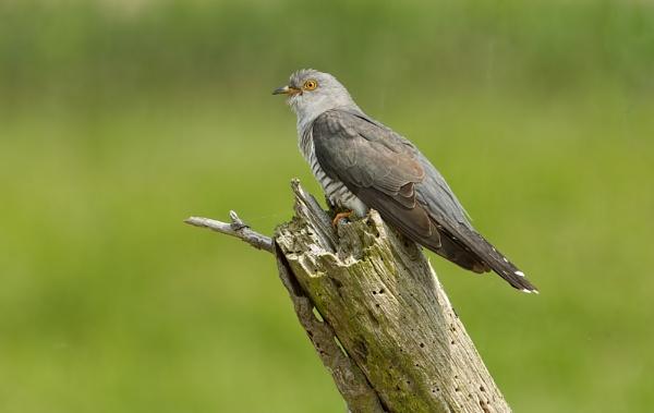 Cuckoo by trevrob