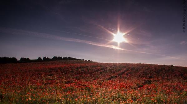Sun Burst Poppy\'s by 365Photography
