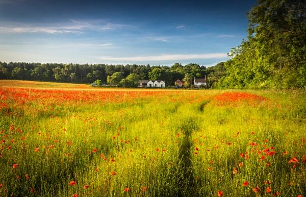 Poppy Field by 365Photography