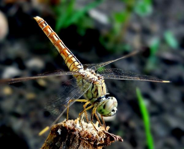 Dragon Fly: 2 by IshanPathak