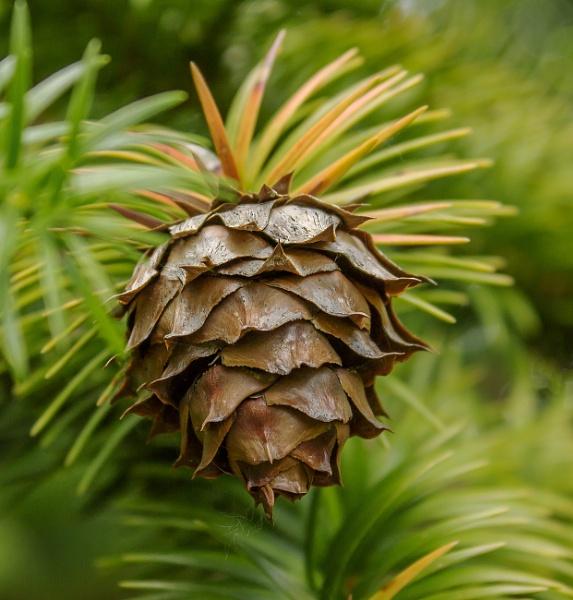 Pine tree (cone) by kuipje