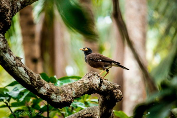 common Myna (Acridotheres Tristis) by valsan