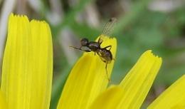 Black Lesser Dung Fly (Sepsis Fulgens) on dandelion petal
