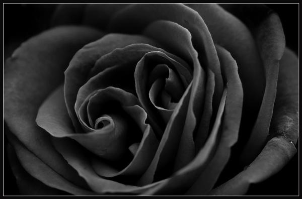 Dark Rose by Morpyre