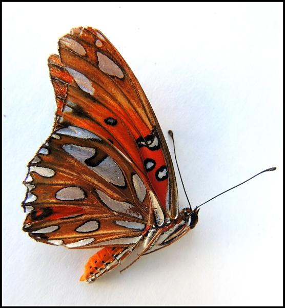 Butterfly Ghost by Aldo Panzieri