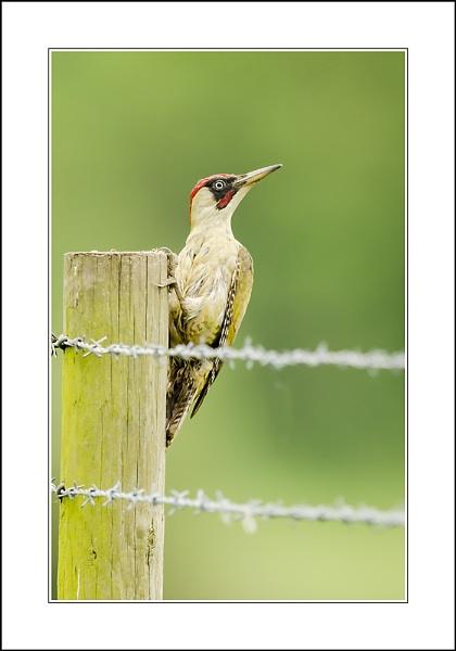Green Woodpecker by phil_j