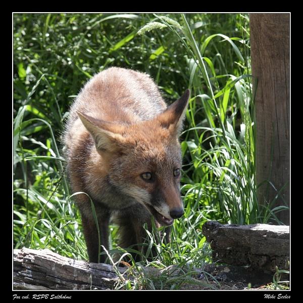 Fox cub, RSPB Salholme by oldgreyheron